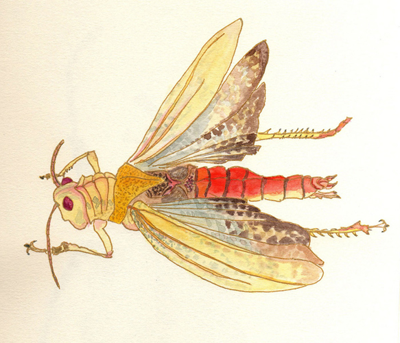 gold locust
